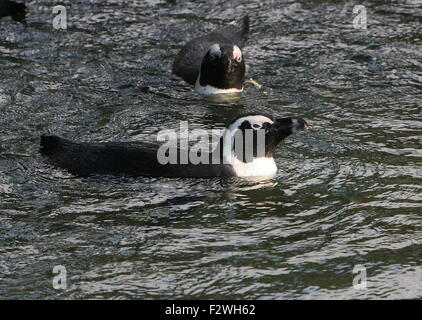 Two swimming Black footed penguins(Spheniscus demersus), a.k.a. African penguin or Jackass penguin - Stock Photo
