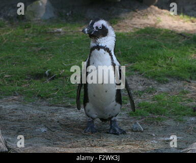 Juvenile Black footed penguin (Spheniscus demersus,), a.k.a. African penguin or Jackass penguin - Stock Photo