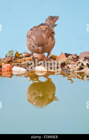 Female House sparrow perched on a bird bath on blue background - Stock Photo
