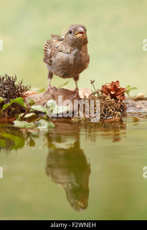 Female House sparrow perched on a bird bath on green background - Stock Photo