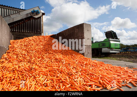 Burscough, Lancashire, UK.  24th September, 2015. Local farmers Margaret & William Wilson are busy processing their - Stock Photo