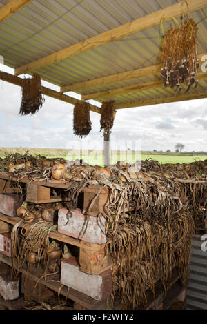 Lancashire, UK. 24th September, 2015. These organically produced onions, with hanging garlic, in Lancashire, are - Stock Photo