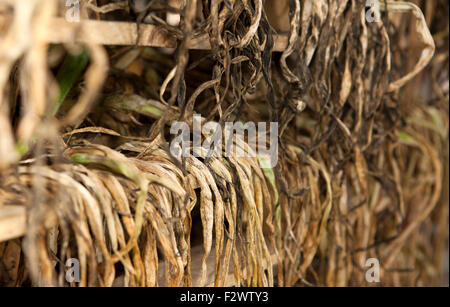Lancashire, UK. 24th September, 2015. These organically produced onions in Lancashire, are laid out on pallets to - Stock Photo