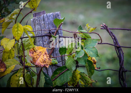 This old fence post has been in the ground holding up vines, and a rusted wire fence for years. It would be missed - Stock Photo