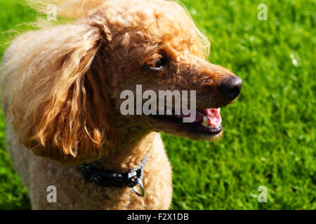 Happy Smiling Fluffy Red Toy Poodle Side View - Stock Photo