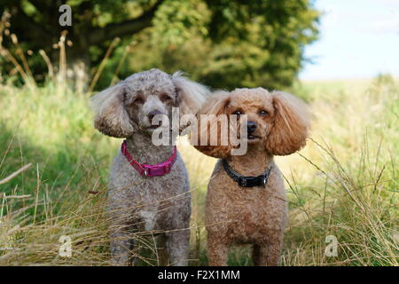 Oscar and Indie Toy/ Miniature Poodle  posing on their nature walk at Loudoun Hill - Stock Photo