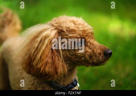Red Toy Poodle in Woods with grass background side view - Stock Photo