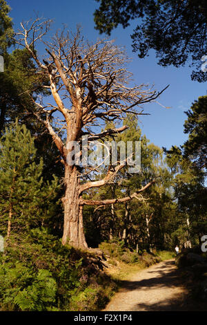 Dead Tree at Loch an Eilein by Aviemore - Stock Photo