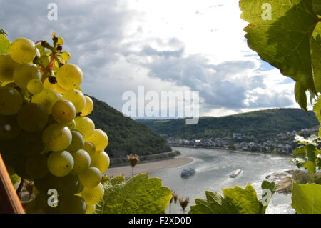 Bacharach, Germany - September 19, 2015: Wine grapes with river rhine near Oberwesel - Stock Photo