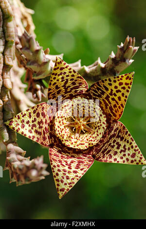 Starfish flower. Stapelia variegata. - Stock Photo