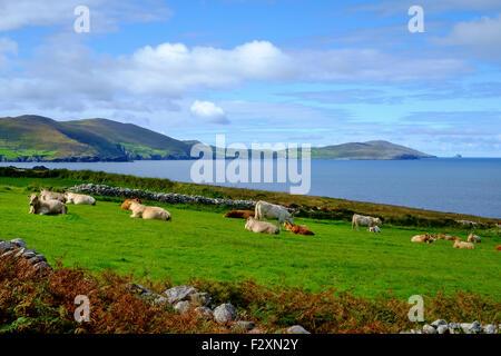 cows cattle field coast ireland irish landscape - Stock Photo