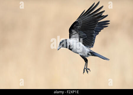 Hoodiecrow / Nebelkrähe ( Corvus cornix ) in flight with wide open wings in front of a beautiful clean reed-colored - Stock Photo