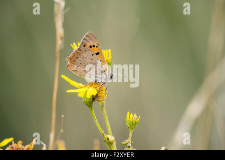 Underside of small copper butterfly (Lycaena phlaeas) - Stock Photo