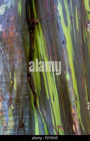 Rainbow Eucalyptus (Eucalyptus deglupta) tree bark along the road to Hana, Maui, Hawaii in August - Stock Photo