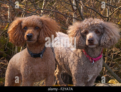 Red and Brown Toy / Miniature Poodles with fluffy ears on the Rocks at Loch Lomond - Stock Photo