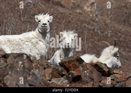 Dall sheep mountain goats wild Canada Yukon - Stock Photo