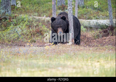 Eurasian Brown Bear Ursus arctos arctos emerges from the wild forests of Finland, close to the Russian border. - Stock Photo