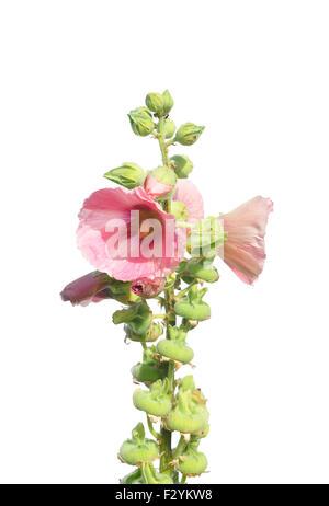 Common hollyhock (Alcea rosea) - Stock Photo