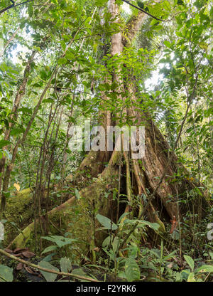 A very large Ceibo or Kapok tree (Ceiba pentandra) with an extensive system of buttress roots in tropical rainforest, - Stock Photo