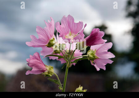 Malva alcea, greater musk-mallow, cut-leaved mallow, vervain mallow or hollyhock mallow - Stock Photo
