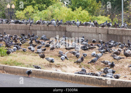Large flock of pigeons on side of road - USA - Stock Photo