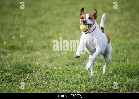 Danish Swedish Farmdog playing fetch with a tennis ball. - Stock Photo