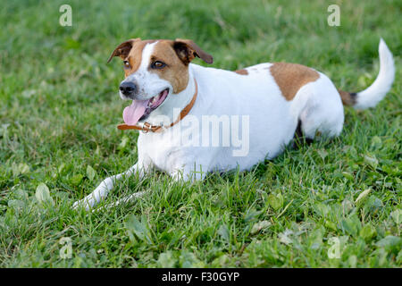 Danish Swedish Farmdog playing fetch. - Stock Photo