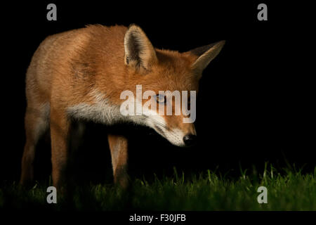 red fox urban - Stock Photo