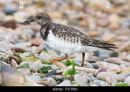 Ruddy turnstone - Stock Photo