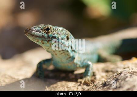 Curious especimen of Ibiza wall lizard sub-specie of Formentera island (Podarcis pityusensis formenterae) - Stock Photo