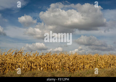 White cumulonimbus clouds in the blue sky over dry corn fields Lower Silesia Poland - Stock Photo