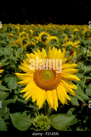 A sunflower stands out from the rest of the sunflowers in the field on a beautiful warm summer day. - Stock Photo