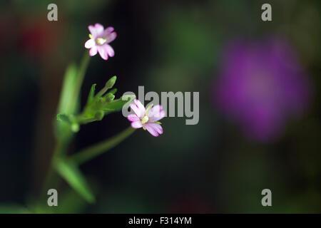 Red campion / Silene dioica / Melandrium rubrum - Stock Photo
