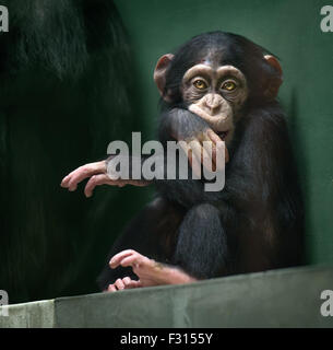 Baby chimpanzee sitting with serious expression looking in camera - Stock Photo