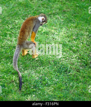Squirrel monkey searching for something in the grass - Stock Photo