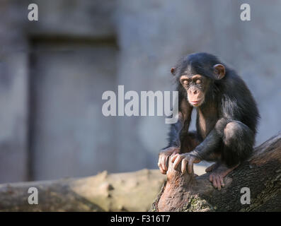 Little chimpanzee sitting with its eyes closed as in deep thoughts or meditation - Stock Photo