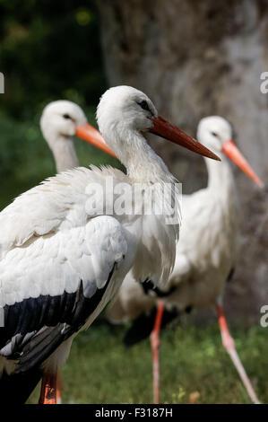 white stork, white storks (Ciconia ciconia) - Stock Photo