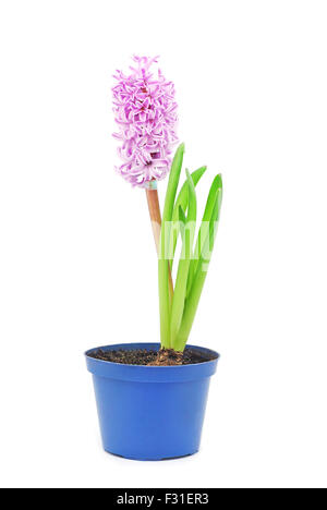 hyacinth in pot on white - Stock Photo