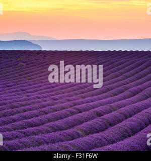 Provence, Valensole Plateau, Lavender field in bloom - Stock Photo