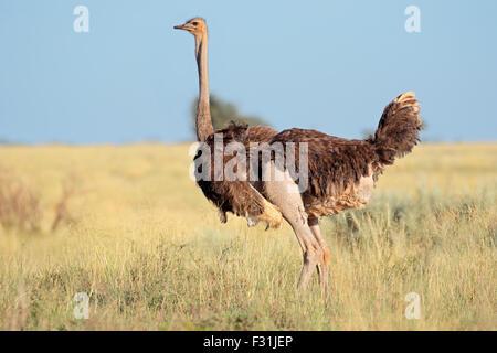 Female ostrich (Struthio camelus) in grassland, Mokala National Park, South Africa - Stock Photo