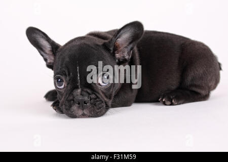 Sweet french bulldog puppy on a white background - Stock Photo