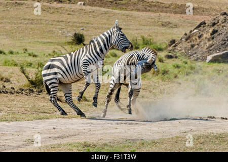 Zebras (Equus quagga), stallions fighting, Maasai Mara National Reserve, Narok County, Kenya - Stock Photo