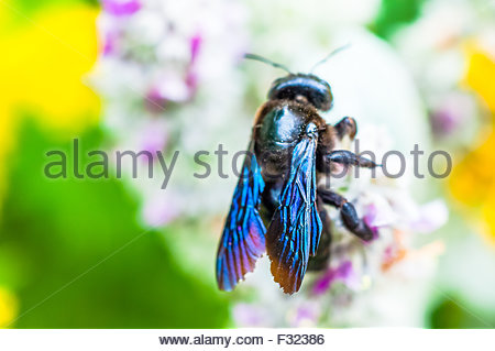 A Violet Carpenter Bee, One of the largest bees in Europe, spreading pollen in Normandy, France. Latin name Xylocopa - Stock Photo