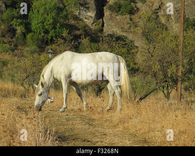 Grazing White horse in Alora countryside tethered by rope on front leg - Stock Photo