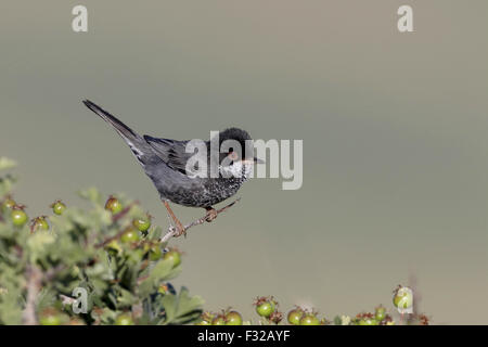 Cyprus Warbler (Sylvia melanothorax) adult male, perched on twig, Cyprus, April - Stock Photo