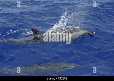 Pantropical Spotted Dolphin (Stenella attenuata) two adults, swimming at surface, near Minami Iwo Jima, Iwo Islands, - Stock Photo