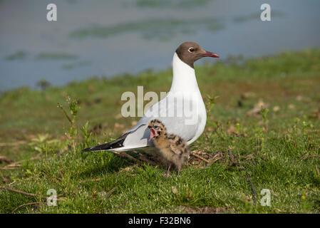 Black-headed Gull (Chroicocephalus ridibundus) adult, breeding plumage, with chick, three-days old, standing on - Stock Photo