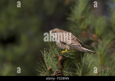 Common Kestrel (Falco tinnunculus) immature, waiting for prey, perched in pine tree, Norfolk, England, October - Stock Photo