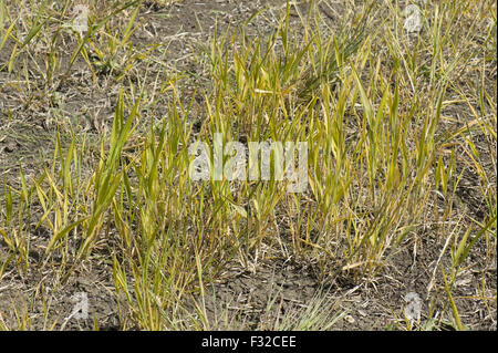 Fallow field with volunteer wheat and both annual and perennial weeds treated with glyphosate prior to cultivation, - Stock Photo
