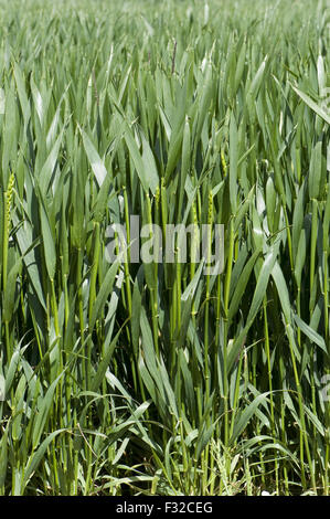 Winter wheat crop between stage 45 in boot but with some ears emerging stage 50, Berkshire, England, June - Stock Photo